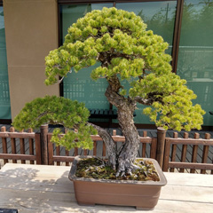 Bonsai at museum