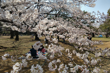 Cherry Blossoms at Yoyogi Park