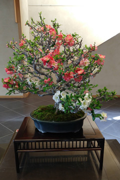 Flowering Quince bonsai